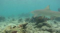 Shark: Lemon Shark Swimming Stock Footage
