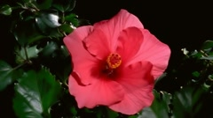 Red Hibiscus Flower Blooming in Time-lapse – HD Stock Footage