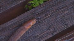 Slug on Wooden Bench 1 Stock Footage