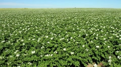 Potato Crop Stock Footage