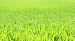 Dancing Young Corn Plants Stock Footage