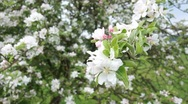 Stock Video Footage of Apple Blossoms
