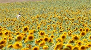 Stock Video Footage of man walks through a field of sunflowers