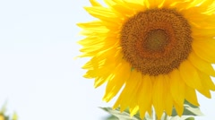one sunflower - stock footage