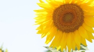 Stock Video Footage of one sunflower