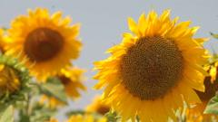 sunflowers - stock footage