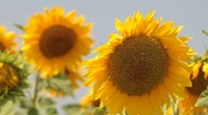 Stock Video Footage of sunflowers