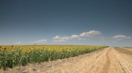 Stock Video Footage of sunflowers field
