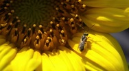 Stock Video Footage of Bee On Sunflower