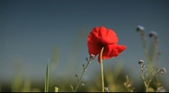 Poppy Blue Sky Stock Footage