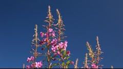 Fireweed - stock footage