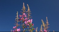 Fireweed Stock Footage