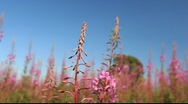 Stock Video Footage of Fireweed