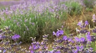 Around Lavender Stock Footage