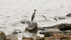 Heron on rocky shore of Tampa Bay Stock Footage