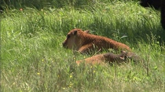 Baby Bison in Meadow 5 Stock Footage