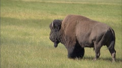 Bison Meadow wide Stock Footage