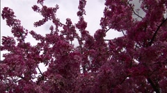 Flowering Crabapple Blossoms 1 Stock Footage