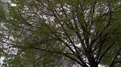 Spring Tree Leaves in Stormy Sky 2 Stock Footage