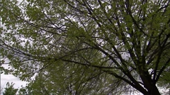 Spring Tree Leaves in Stormy Sky 3 Stock Footage