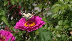 Papilio machaon butterfly on a flower zinnia 1 - stock footage