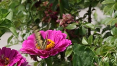 Papilio machaon butterfly on a flower zinnia 4 - stock footage