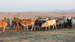 Masai and Cattle in Morning Light  (HD) - stock footage