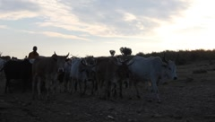 Masai Cattle in Early Light (HD) - stock footage