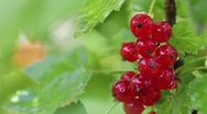 Red currants in the rain. close-up. Stock Footage