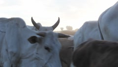Masai Cattle Passing Camera  (HD) - stock footage
