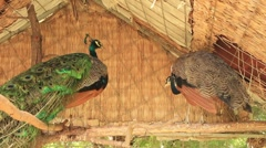 Two Indian Peafowls _2 Stock Footage