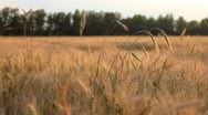 Stock Video Footage of Wheat on breeze panning - field of wheat landscape