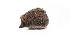 Small hedgehog on a white background Stock Footage
