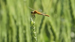 Dragonfly on wheat stalk Stock Footage