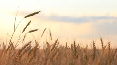 Different ear of wheat on breeze background Stock Footage