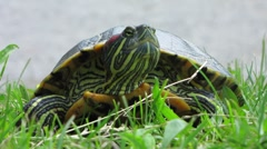 HD: Red-Eared Slider Turtle Portrait Stock Footage