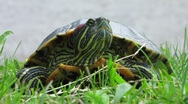 Stock Video Footage of HD: Red-Eared Slider Turtle Portrait