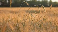 Stock Video Footage of Different ears of wheat on breeze over field