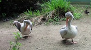 Stock Video Footage of HD: Pink Backed Pelicans