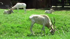 HD: Addax Antelopes - stock footage