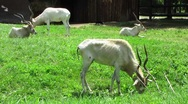 Stock Video Footage of HD: Addax Antelopes