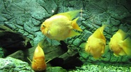 Stock Video Footage of HD: Midas Cichlid Fish