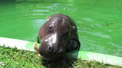 HD: Hippo In The Pool Stock Footage