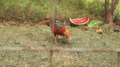 Golden (Chinese) Pheasant eating Stock Footage
