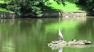 Stock Video Footage of HD: Grey Heron With Ducks In The Pond