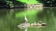 Stock Video Footage of HD: Grey Heron In The Pond