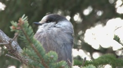 Grey Jay 2 close Stock Footage