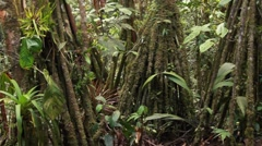 Mossy stilt roots of the palm Iriartea deltoidea in rainforest Stock Footage