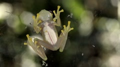 Stock Video Footage of Glass Frog (Chimerella mariaelenae)