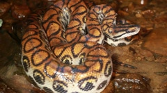 Stock Video Footage of Rainbow boa (Epicrates cenchria)